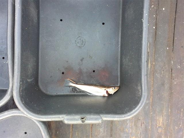 Kiste mit den geangelten Fischen