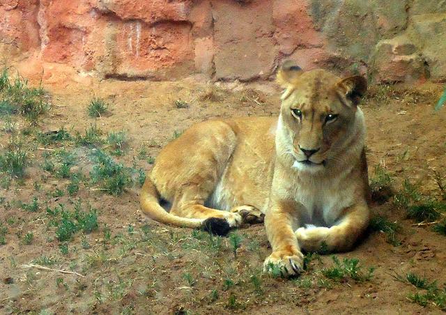 Löwe im Zoo von Hannover