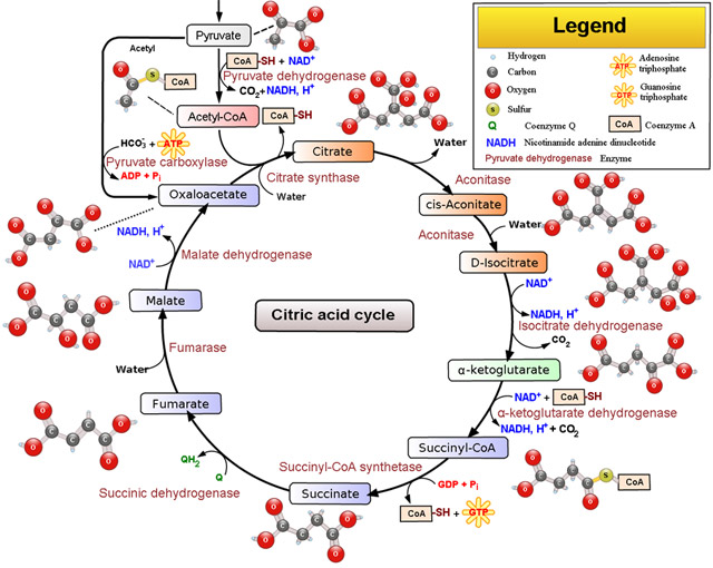 Citric acid cycle by Szent-Gyorgyi and Krebs