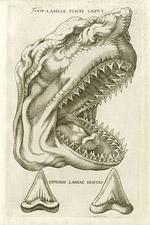 Haifischkopf mit Zähnen (Steno)